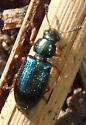 Green beetle - Necrobia rufipes