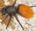 Velvet ant, dorsal-lateral - Dasymutilla - female