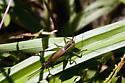 active cricket  - Conocephalus brevipennis - female