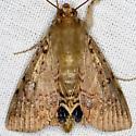 Palmetto Borer Moth - Litoprosopus futilis
