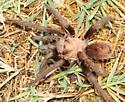 Desert Blond Tarantula? - Aphonopelma chalcodes - male