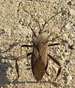 Leaffooted Bug - Acanthocephala terminalis