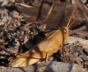 Bird Grasshopper nymph Schistocerca? - Schistocerca damnifica - male