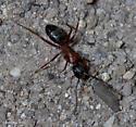 Camponotus vicinus - female