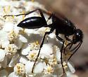 Spider wasp?