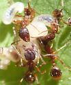 Ants - Aphaenogaster rudis
