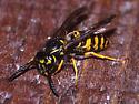 Yellowjacket maybe Vespula vulgaris - Vespula alascensis - female