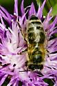 bathed in pollen - Apis mellifera