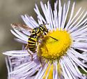 Syrphid fly -- Ceriana sp.? - Spilomyia