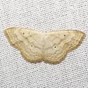 Large Lace-border Moth - Hodges #7159  - Scopula limboundata