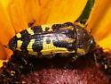 Yellow-marked Buprestid - Acmaeodera pulchella