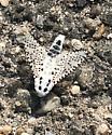 White moth with black spots - Zeuzera pyrina