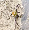 weird crab spider? - Misumenoides formosipes - male