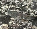 Dark Grasshopper - Trimerotropis verruculata - female