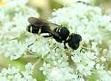 Square-headed Wasp - Ectemnius continuus