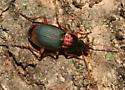 Carabidae - Chlaenius tricolor