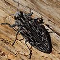 Unknown 'Bug' - Chrysobothris woodgatei