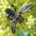 Feather-legged Fly - Trichopoda lanipes