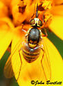 Bombyliidae -  Phthiriinae - female