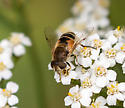 Eristalis sp? - Eristalis arbustorum - female