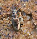 Tiny ground beetle (Bembidion?) - Bembidion americanum