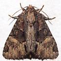 Phosphila turbulenta