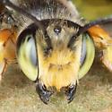 Leafcutter bee - Megachile policaris? - Megachile policaris - male