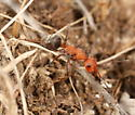 Red ant with black gaster - Formica ravida - female