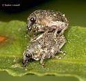 Stacked Weevils - Rhinoncus pericarpius - male - female
