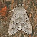 large grey moth - Acronicta dactylina