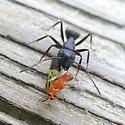 What to Whom? - Camponotus pennsylvanicus