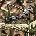 Blister Beetles  - Epicauta - male - female