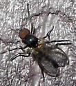 Black Fly - male