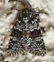 Collared Arches Moth - Lacinipolia strigicollis