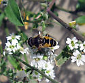 Eristalis 9/15/09 01 - Eristalis arbustorum - male