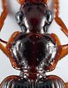 Ground Beetle - Cymindis platicollis