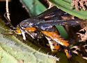 flying insect - Melittia cucurbitae