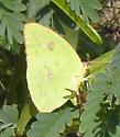 Green cloudless sulfur butterfly - Phoebis sennae - female