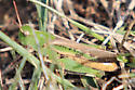 Grasshopper_081314 - Chortophaga viridifasciata - female