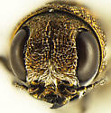 Agrilus falli - female