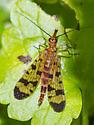 Panorpa #3 - Panorpa - female