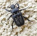 Cremastocheilus