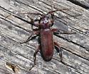 Cerambycidae - Eustromula validum