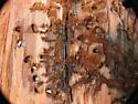 conifer borer pupae