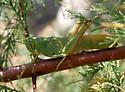 Green Bird Munching Salt Cedar - Schistocerca shoshone - female
