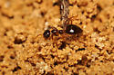Ant digging hole - Prenolepis imparis