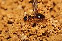 Ant digging hole - Prenolepis imparis