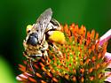 Unknown Bee - Svastra