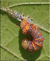 Caterpillars sp - Eudryas grata