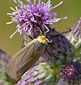 Yellow scaped Moth - Cisseps fulvicollis